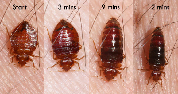 Bed Bugs – Your Micro Natural Enemy