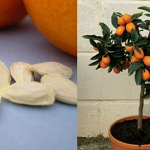 Do You Love Orange Juice? Grow Your Own Orange Tree from Seeds
