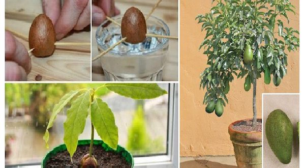 Enrich Your Garden with Your Own Avocado Tree