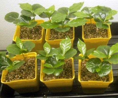 coffea_arabica_seeds_coffea_arabica_nana_grow_your_own_coffee_tree_from_seed_-_perennial__ce00932c