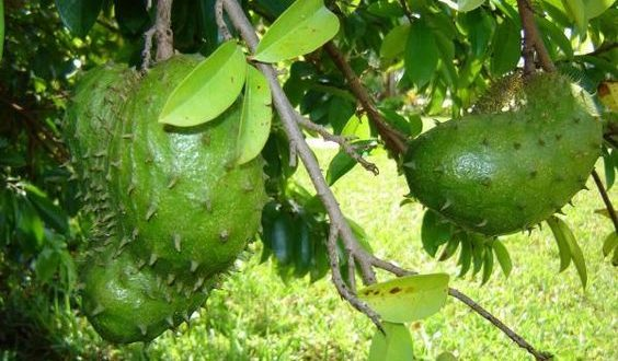 Graviola Plant – The Most Powerful Cancer Killer!