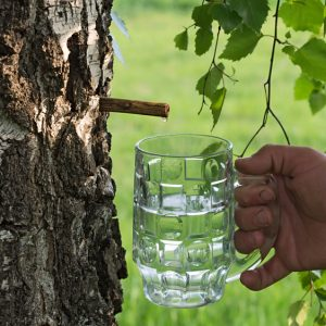 Birch Water – Latest Healthy Trend