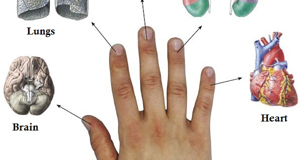 Did You Know That Each Finger Is Connected With 2 Organs? This Method Will Cure Your Troubles In 5 Minutes