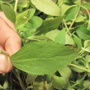 Get Rid of the Bad Habit: This Magical Herb Will Help You Quit Smoking Without Any Trouble