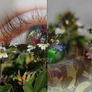 Have You Ever Heard Of The Plant Called Eyebright? Find Out What It Helps With!