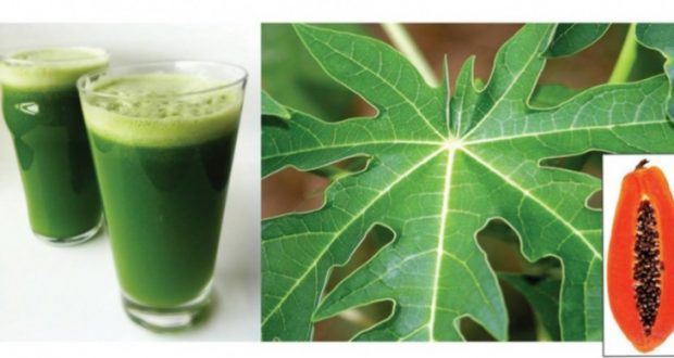 Papaya Leaf Juice Will Improve Your Health and Solve These Issues, Just Try It