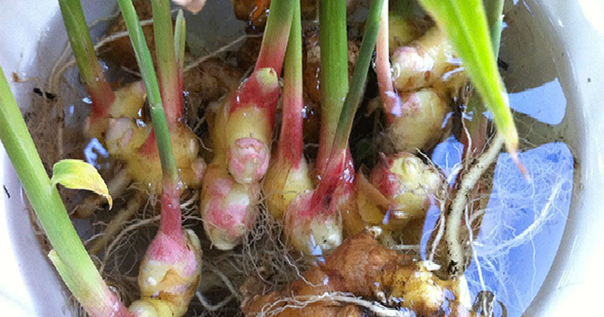 You Don't Need to Buy Ginger Anymore, Grow Your Own at Your Home