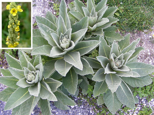 Did You Know About Mullein's Miraculous Properties? See How And When You Can Use It As Cheap And Efficient Remedy!