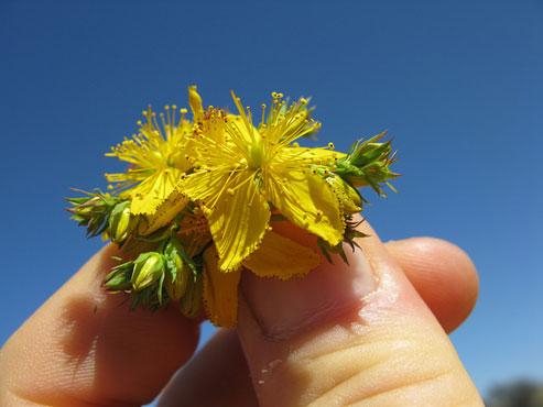 Calendar Of Gathering Healthy Herbs!