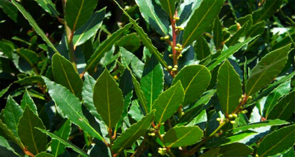 Amazing Plant and Its Possibilities: Forget About Joint Pain, Varicose Veins, Headaches or Memory Loss