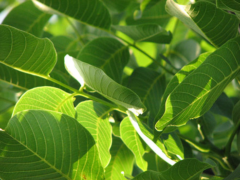 Walnut Leaves Are An Underestimated Natural Remedy!