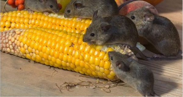 How to Get Rid Of Mice With Poison-Free, Natural Home Remedies
