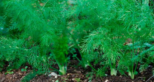 Fennel, The Super Plant: Why and How to Use It