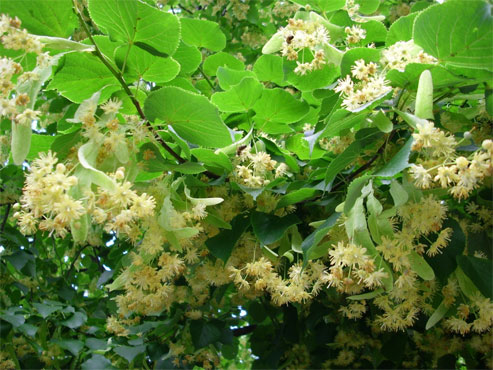 Try Linden Tea To Get Rid Of Many Health Problems!