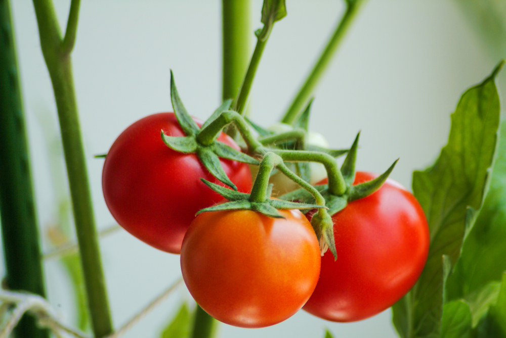 New Study Shows Tomatoes Fight Cancer
