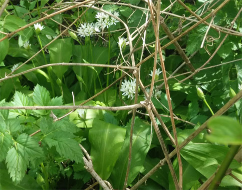 Wild Garlic – A Miracle Of The Nature!
